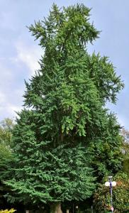 Ginkgo Biloba-tree